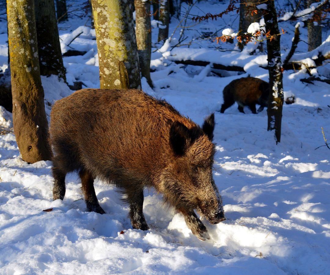 How to Survive a Wild Boar Attack